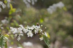 Zangão que poliniza a flor branca da árvore fotografia de stock