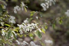 Zangão que poliniza a flor branca da árvore fotografia de stock royalty free