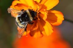 Zangão que poliniza uma flor alaranjada do coreopsis Fotos de Stock