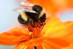 Zangão que poliniza uma flor alaranjada do coreopsis Fotos de Stock Royalty Free