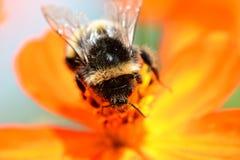 Zangão que poliniza uma flor alaranjada do coreopsis Foto de Stock Royalty Free