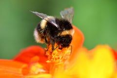 Zangão que poliniza uma flor alaranjada do coreopsis Fotografia de Stock Royalty Free