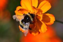 Zangão que poliniza uma flor alaranjada do coreopsis Fotografia de Stock