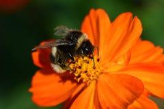 Zangão que poliniza uma flor alaranjada do coreopsis Imagens de Stock Royalty Free