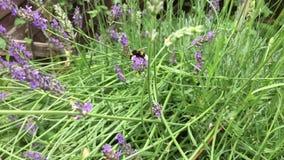 Zangão que recolhe o pólen e o néctar de uma flor da alfazema, a seguir voando e aterrando no seguinte no Lento-movimento filme
