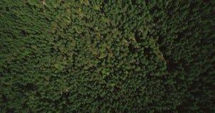 Zangão que voa a elevação dianteira acima do tiro vertical do topview 4K aéreo misturado da floresta de árvores calmas da queda e filme