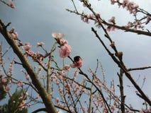 Zangão sobre da flor da maçã foto de stock royalty free