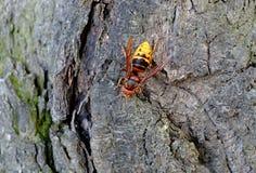 Zangão - tiro macro na árvore Fotografia de Stock