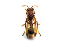 Zangão vermelho da vespa isolado no fundo branco Imagens de Stock