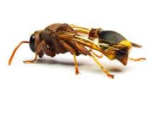Zangão vermelho da vespa isolado no fundo branco Fotografia de Stock Royalty Free