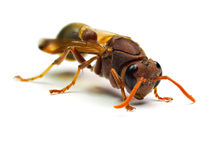 Zangão vermelho da vespa isolado no fundo branco Imagens de Stock Royalty Free