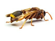 Zangão vermelho da vespa isolado no fundo branco Fotos de Stock Royalty Free