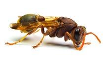 Zangão vermelho da vespa isolado no fundo branco Foto de Stock