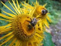 Zangões em uma flor foto de stock royalty free