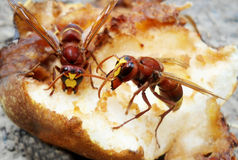 Zangões que comem a pera Foto de Stock