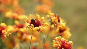 Zangões que voam para jardinar flores alaranjadas que recolhem o néctar As abelhas polinizam a flor de florescência Metragem 1080 video estoque