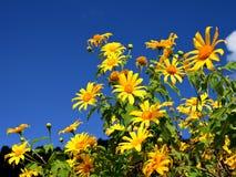 Zange Tung-Bua (mexikanische Sonnenblume) in Maehongson Lizenzfreies Stockbild