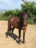 Zangersheide公马在白天 库存图片
