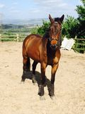 Zangersheide stallion in his arena Stock Photography