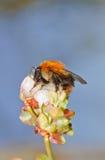 Zangão na flor Fotos de Stock Royalty Free