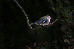 Zangvogel op een tak stock afbeelding