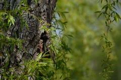 Zangvogelster in zijn boomnest Royalty-vrije Stock Foto