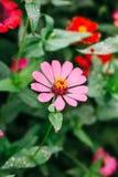 Zania-Blume Stockfoto