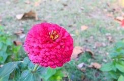 Zania rosado Foto de archivo