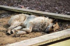 Zaniechany bezdomny przybłąkanego psa dosypianie na ulicie Zdjęcia Stock