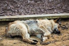 Zaniechany bezdomny przybłąkanego psa dosypianie na ulicie Obrazy Stock