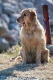 Zaniechany golden retriever pies Zdjęcie Royalty Free