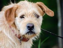 Zaniedbany Wirehaired Terrier trakenu Mieszający pies zdjęcia royalty free