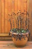 Zaniedbany Z Podbitym Okiem Susan, Rudbeckia roślina, opuszczał overwinter obrazy royalty free
