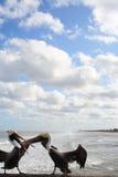 Zankende Pelikane Stockfoto