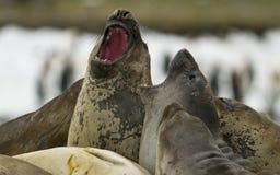 Zankende Seelefanten Stockfotos