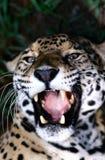 Zanne del giaguaro Fotografia Stock Libera da Diritti