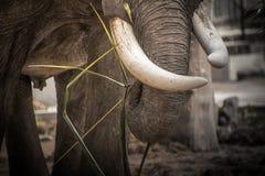 Zanne dell'elefante dell'avorio immagine stock