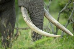 Zanne di grande elefante di toro immagini stock