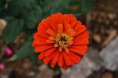 Zannia花橘黄色在我的庭院里 免版税库存照片