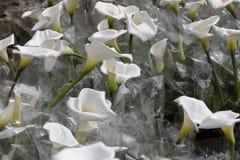 Zantedeschia της Calla Στοκ εικόνα με δικαίωμα ελεύθερης χρήσης