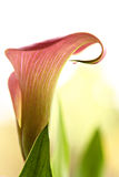 Zantedeschia Photo stock