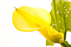 Zantedeschia. Yellow flower isolated on white background Stock Photo