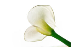 Zantedeschia aethiopica Royalty Free Stock Photos