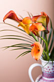 Zantedeschia aethiopica. Calla lily flower in frot of red bachground Royalty Free Stock Photography