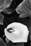 Zantedeschia aethiopica Blume Stockfotografie