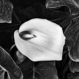 Zantedeschia aethiopica Blume Lizenzfreie Stockfotos