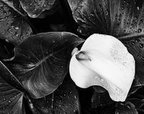 Zantedeschia aethiopica Blume Stockfoto