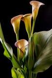 Zantedeschia aethiopica, Calla-Lilie Stockfotografie