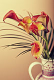 Zantedeschia aethiopica. Calla lily flower in frot of red bachground Royalty Free Stock Images