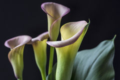 Zantedeschia aethiopica, calla lily Stock Photos